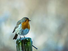 Winter met de roodborst (aj.lindeboom) Tags: robin roodborstje winter bird
