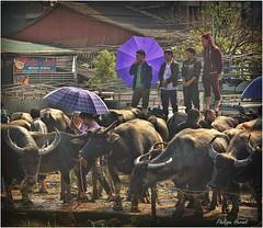 Bac Ha - Haut Tonkin - Vietnam - Nov. 2018 (Philippe Hernot) Tags: buffle vietnam tonkin nikond700 nikon philippehernot kodachrome purple violet parapluie marché foire