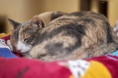 A9__DSC3147_C1 (Bazoka+Cynthia) Tags: pupu cat 小婆 新北市 樹林區 貓