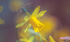 Daffodils (Dhina A) Tags: sony a7rii ilce7rm2 a7r2 a7r airministry 5inch f4 vv178513 ross xpres f11 militarylens aircraftlens british brass heavy f4tof11 rosslondon manualfocus daffodils flowers bokeh spring