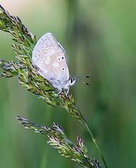 Arctic Blue (Laurie Paulik) Tags: arcticblues blues butterflies