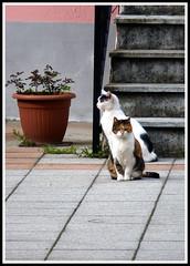 PICCOLE VEDETTE LOMBARDE (claudiobertolesi) Tags: gatti gatto felini randagi gattirandagi animali claudiobertolesi straycats cat gaggiano 2015 panasonic