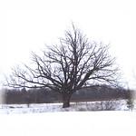 000019 -oak tree 12-07-02