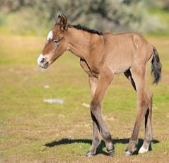 Wild Horses (Jami Bollschweiler Photography) Tags: wild horses utah photography photographer horse filly red head newborn
