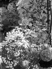 harada-flowers-93 (annie harada) Tags: flowers hana blumen fleurs bouquet noir et blanc black white