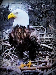 Liberty  - SCREENSHOT - 03-04-2019 (1) (THE Halloween Queen) Tags: eagles eagle wildlife bald baldeagles nationssymbol patriotic