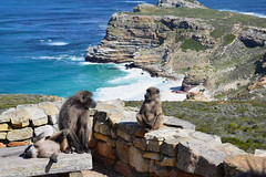 Cape Point Baboons (雷太) Tags: southafrica capetown capepeninsula cape monkey nature baboon cliff sea azure