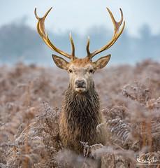 #stagoftheday #deer #stag (maxjunkyard) Tags: stagoftheday deer stag