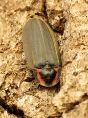 Winter Firefly (treegrow) Tags: nature lifeonearth raynoxdcr250 arthropoda glendining maryland insect beetle coleoptera ellychniacorrusca lampyridae