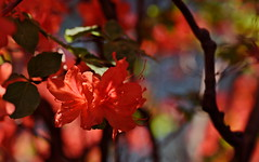 flower 508 (kaifudo) Tags: sapporo hokkaido japan botanicalgarden flower azalea 札幌 北海道 北大植物園 ツツジ nikon d750 sigmaapomacro150mmf28 sigma 150mm macro