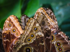 A Kaleidoscope (1bluecanoe) Tags: commonbluemorpho insect abstract butterfly butterflywings kaleidoscope