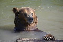 Parc animalier de Sainte Croix - Saison 2019 (3) (dom67150) Tags: brownbear lorraine oursbrun parcanimalierdesaintecroix rhodes