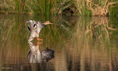 Beste Haltungsnoten (wernerlohmanns) Tags: wildlife wasservögel natur outdoor nsg nabu naturpark nikond750 sigma150600c schärfentiefe d750 entenvögel enten