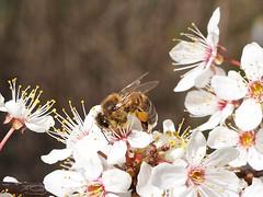 A honey bee working on flowers of the Blackthorn tree II. (Bienenwabe) Tags: bee honeybee apis apismellifera apiaceae prunus prunusspinosa rosaceae schlehe blackthorn biene honigbiene