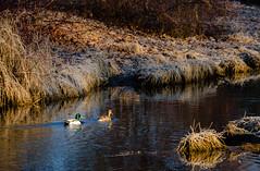 The Ducks of Mill Creek (Neil Cornwall) Tags: 2019 canada kingsville lakesidepark march millcreek ontario ducks morning sunrise water winter