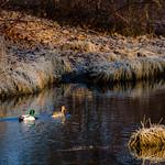 The Ducks of Mill Creek thumbnail