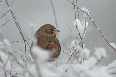 Fox Sparrow-40922.jpg (Mully410 * Images) Tags: birdwatching birding blizzard winter backyard bird birds sparrow foxsparrow snow spring birder snowing