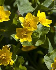 Caltha palustris (Marsh Marigold) -- Ranunculaceae (Michael Huft) Tags: angiosperm caltha calthapalustris dicots plants ranunculaceae