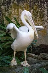 Pélican dans la volière Edward Youde (Seb & Jen) Tags: hongkong asia asie park parc island pelican bird oiseau voliere
