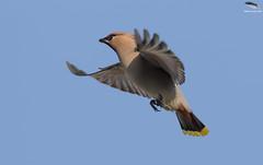 Waxwing coming in to land (Mick Erwin) Tags: waxwing flight landing nikon afs 600mm f4e fl ed vr lens tc14e teleconverter iii d850 mick erwin stoke trent staffordshire wildlife nature hednesford tree sky bird