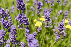 DSC_9207-3 (aehnattapol) Tags: france lavender building shop landscape uk england europe eifel farm blue sky green