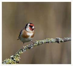 Chardonneret élégant - Goldfinch - DSC_2681G (isabelle.bienfait) Tags: goldfinch nikond7200 tamron150600 isabellebienfait wildlife viesauvage nature bird oiseau chardonneretélégant