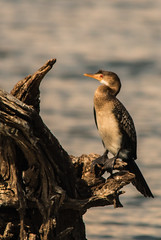 Reed Cormorant (selvagedavid38) Tags: bird cormorant river chobe botswana africa safari