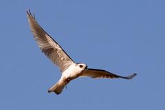 Bailarín (Tabriss) Tags: ave bird vuelo whitedtailedkite bailarín elanusleucurus tabriss carlos riquelme canon rebel t6i eos 750d 55250 stm campo