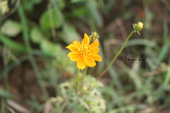 IMG_0331 (Tamim.ik.prince) Tags: flower dslr grassfamily grass macrophotography dailyclick
