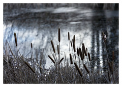 Bulrushes (Jo Evans1) Tags: textural tuesday ttt bulrushes pool seed mace