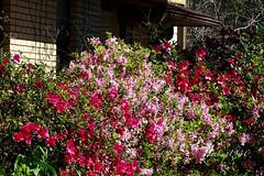 Katy Texas Drive by ! (backup1940) Tags: backup1940 katytexas flowers driveby azaleas