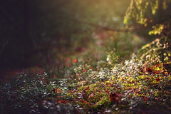 Forest floor (~ Maria ~) Tags: lingonberryleaves forestfloor winterforest woods ground bokeh dof nikond800 mariakallinphotography february 2019