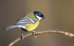Great Tit (Paula Darwinkel) Tags: greattit tit bird animal wildlife nature europe birdphotography