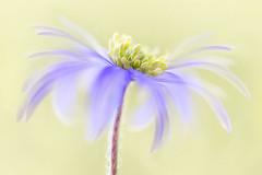 Anemone Blanda (Mandy Disher) Tags: anemone blanda blue lilac maive yellow spring woodland flower wildflower