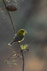 First arrivals (Khurram Khan...) Tags: wildlife wildlifephotography wild wwwkhurramkhanphotocom spring khurramkhan iamnikon ilovenature ilovewildlife