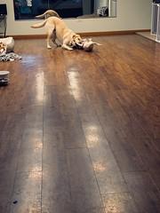 Yogi - Labrador Retriever & Finn - Mixed (Samamammals) Tags: labradorretriever purebreds puppies mixedbreed mixeddog mixeddogs mixedbreeds dogboarding petboarding petdaycare doggydaycare petsitting dogsitting samammals 247 petcare 247petcare