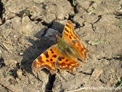 Lovely comma butterfly, suffolk (nina1688) Tags: comma butterfly insect colourful orange beauty insectphotography