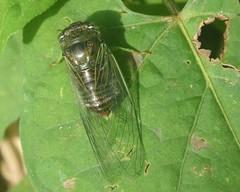 cigarrinha (abelhário) Tags: cigarra inseto insecto insekt insekte brasil brazil brazilië brasilien cicada zikaden cicade