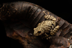 Tree Frog On Brown Leaf (worm600) Tags: ecuador animal sumaco wildsumaco frog treefrog