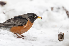 Robin-40974.jpg (Mully410 * Images) Tags: birdwatching birding winter backyard americanrobin birds robin eating bird prune birder snow