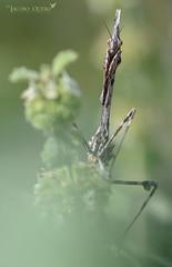 Mantis palo/ Conehead mantis (Empusa pennata) (Jacobo Quero) Tags: empusapennata mantis coneheadmantis wildlife nature insect insecto macro animal fotografíadenaturaleza nikon