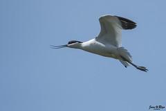 Recurvirostra avosetta (Joan Rigo Arnavat) Tags: birds ocells oiseaux wildlife nature natura avocet becdalena