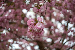 puffy blossoms (kderricotte) Tags: blossoms tree spring sony sonya7iii helios vintagelens helios44m458mmf2 bokeh depthoffield