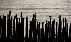 Fence Birds (Markspitz15) Tags: canon eos 1000d malaga spain españa playa beach sand sun light figura silueta backlight 1855mm rebelxs bird sea mediterraneo