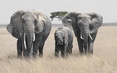 _A120074 (BergsPix) Tags: elephants africa kenya safari amboseli masaai mara samburu tusks mammals