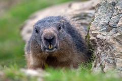 Marmota (Axel_Hahn) Tags: nagetier hörnchen mankei murmeli marmotte winterschlaf alpen alps austria österreich natur munggen murmandl сурки marmotten marmot murmeltier