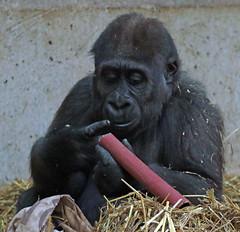 western lowlandgorilla Yanga artis 094A0327 (j.a.kok) Tags: animal artis africa afrika aap ape mammal monkey mensaap primate primaat zoogdier dier gorilla yanga westelijkelaaglandgorilla westernlowlandgorilla lowlandgorilla laaglandgorilla