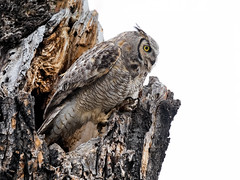 Great horned owl (idvisions) Tags: wildlife explore thewonderfulworldofbirds outdoor bird interestingness birds owl owls greathornedowls canoneos7d