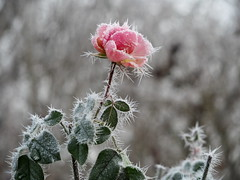 ROSE IM WINTER PC260094 (hlh 1960) Tags: rose blume flower blossom garten garden winter kalt cold eis ice frosty frost leaves blätter soft trüb grey grau nature natur outside outdoor macro