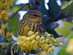 Cape May Warbler (ebirdman) Tags: capemaywarbler cape may warbler dendroicatigrina dendroica tigrina male